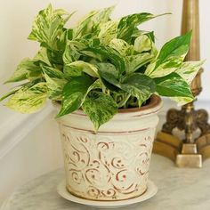 Pothos - one of the easiest, most foolproof plants for homes, it grows in almost any light conditions and in moderately dry soil.  if you prefer leaves of a solid color, try its cousin, heartleaf philodendron.