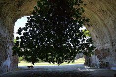 Albero di fico cresciuto al contrario nel parco archeologico di Baia   - Italia