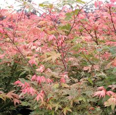 Acer Japanese Maple Trees: Beautiful foliage on these specimen trees. Dwarf Trees, Trees And Shrubs, Trees To Plant, Dwarf Japanese Maple, Home And Garden Store, Deck Landscaping, Specimen Trees, Garden Of Earthly Delights, Acer Palmatum
