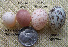Chickadee, Wren, Titmouse & House Sparrow eggs!!!  Oh...and a dime!!!