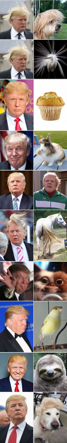 Funny pictures about Donald Trump Look Alikes. Oh, and cool pics about Donald Trump Look Alikes. Also, Donald Trump Look Alikes photos. Donald Trump Hair, Donald Trump Funny, Funny Cute, Really Funny, The Funny, That's Hilarious, Bizarre, Humor Grafico, Look Alike