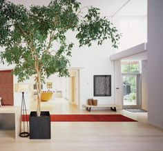 The weeping fig (Ficus benjamina) pictured here is a common indoor plant — and. - The weeping fig (Ficus benjamina) pictured here is a common indoor plant — and street tree in war - Indoor Trees, Foyer Design, Ficus Tree Indoor, Modern Foyer, Ficus Benjamina, Home, Interior, Hall Design, Home Decor