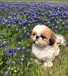 aesthetic isabelle crossing animal shih tzu isabelle animal crossing aesthetic Shih TzuYou can find Shih tzu and more on our website Cute Little Animals, Cute Funny Animals, Cute Dogs And Puppies, I Love Dogs, Doggies, Animal Crossing, Shih Tzu Puppy, Shih Tzus, Cute Creatures