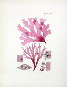 Nitophyllum laceratum: William Harvey Seaweed Prints 1846-1851
