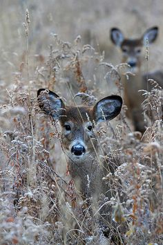 In the Meadow - White tailed deer, Ottawa, Ontario - by Jim Cumming