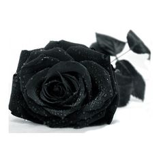 Image detail for -Free black rose Wallpaper - Download The Free black... ❤ liked on Polyvore featuring flowers, backgrounds, black, filler and decor