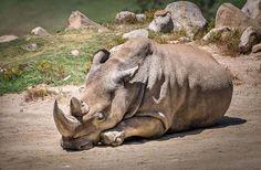 Bebê de proveta PODE SER última esperança para NORTE rinoceronte branco: Então, como exatamente você salvar um rinoceronte quase extintos? Acontece que, um bebê rinoceronte tubo de ensaio pode ser a solução, sendo procurado por especialistas em três continentes. Mas não vai ser fácil: http://dne.ws/1Cd5N78