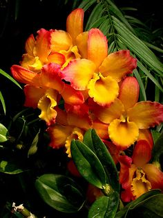 """Sunrise"" by Rodney Williams. Gorgeous color of these orchids!!!!!!!"