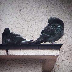 鳩たちは 受難のポッサポサ。 自由ってね厳しい。   #pigeon #bird #鳩 #鳥