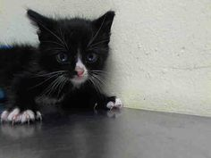 TO BE DESTROYED 6/25/14 ** Little 4-week old Tom came in with his mom (A1003788 - OLIVE OIL) and brother, Jerry ( A1003792). Please adopt, foster or pledge to save this family today!! * Staten Island Center  My name is TOM. My Animal ID # is A1003791. I am a male black and white domestic sh mix. The shelter thinks I am about 4 WEEKS old.  I came in the shelter as a STRAY on 06/19/2014 from NY 10309. I came in with Group/Litter #K14-182528.