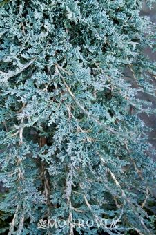 Icee Blue® Juniper - An exceptional introduction that exhibits the best silver blue winter color of the groundcover junipers. Maintains a full, dense crown of foliage creating a solid cover in a short time. Winter foliage becomes plum purple in coldest climates. Evergreen.