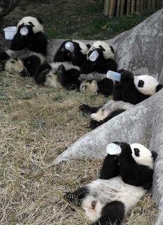 baby pandas! Too cute !!!