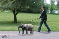 Fake.........simonthongwh on PYGMY ELEPHANTS: THE BORNEO ELEPHANT | simonthongwh