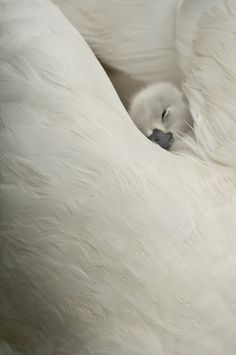 ~~innocence • cygnet sleeping by Olivier Mattelart~~