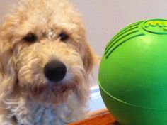 Green Ball and Harry Howard the Labradoodle