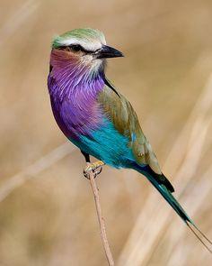 Lilac-Breasted Roller, Savuti marsh, Chobe National Park, Botswana