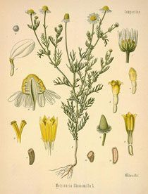 Chamomile Herb - Side Effects, Uses and Benefits