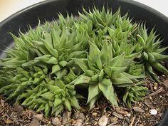 Small Succulent Plants, Planting Succulents, Crassula Succulent, Landscape Concept, Plant Information, Garden Fun, Cacti, Amazing Gardens, Aloe