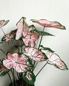 Plants - Pink Caladium ✨💗 🌱 🌿 botanical caladium flauntyourleaves foliage greenery greenhousehunter greenthumb houseplants… - One Foliage Plants, Potted Plants, Garden Plants, Garden Art, Terrarium Plants, Caladium Garden, Porch Plants, Shade Plants, Garden Ideas