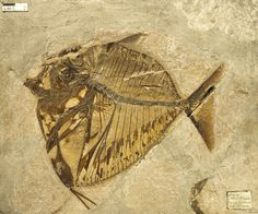 Mene rhombeus (fossil deep-bodied fish with unusual pelvic fins reduced to spines & located far forward on the body) - mid - Eocene Epoch - 56 million to 33.9 million years ago - Found in Monte Bolca (Pesciara) site - Verona, Italy