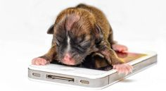 Rescued doxie pup is next world's smallest doggie?