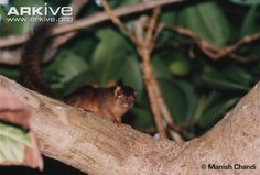 Nicobar treeshrew on branch -endangered