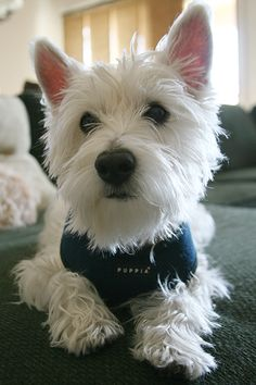 Our westie boy Dylan <3, a total mush! We love him so much :)