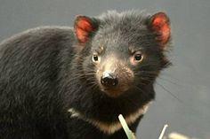 Diable de Tasmanie - alpharococo