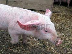 Pig !