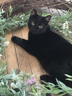 Looks like my big black Dusty Pooh Cat. Kittens Cutest, Cats And Kittens, Cute Cats, Funny Cats, Pretty Cats, Beautiful Cats, Animals Beautiful, Crazy Cat Lady, Crazy Cats