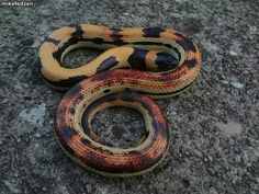 Beautiful Mexican milk snake