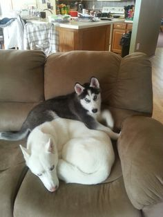 Sasha and Koda Siberian Huskies