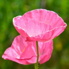 40 Best Garden Pink Poppies Images Poppies Pink Poppies Pink