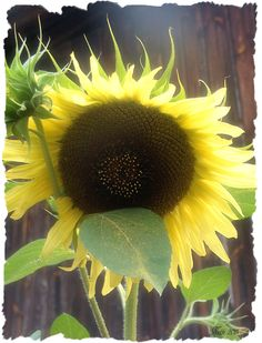 Sonnenblume mit Herzl