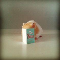 Hamster reading Fangirl book via wwjend on tumblr
