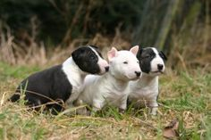 mini bull chiots triplés intrigués