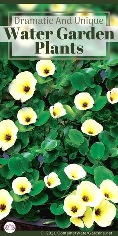 Find all the best aquatic plants for your pond or water feature. From plants that float on the surface to lotus and horsetail rush, we will cover all the best choices. Water Garden Plants, Container Water Gardens, Container Plants, Small Ponds, Aquatic Plants, Water Features, Lotus, Choices, Surface