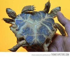 Turtle/s