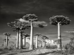 Avenue of the Baobabs.       Elegant in shape and form, these strange and magnificent baobabs seem to rise effortlessly to heights of 98 feet, found only on the island of Madagascar.   From the book -- The Most Ancient and Magnificent Trees From Around the World