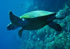 The green turtle is a large, weighty sea turtle with a wide, smooth carapace, or shell. It inhabits tropical and subtropical coastal waters around the world and has been observed clambering onto land to sunbathe.