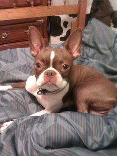 Best pic of a red Boston Terrier