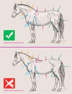 Zwei Zeichnungen eines Pferdes, einmal mit guter und einmal mit schlechter Muskulatur. Die im Text beschriebenen Merkmale werden visualisiert.