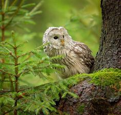 beautiful-wildlife: Ural Owl by Milan Zygmunt (The Little Hermitage) Animals And Pets, Cute Animals, Milan, Enchanted Wood, Owl Photos, Beautiful Owl, Woodland Forest, Walk In The Woods, Tier Fotos