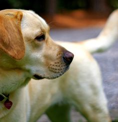 Beautiful yellow lab