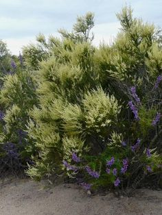 Chamise tends to be a medium to large shrub, 3-10 ft., tall. Native to the coast ranges (Mendocino and Lake County south to Baja) and Sierra...