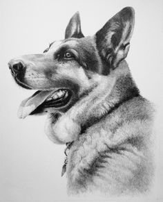 """German Shepherd - Dog Portrait"" - Pencil drawing by Joe Belt"