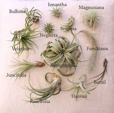 Air Plants (Tillandsia)  - Xerographica 4~5 $18 - Bulbosa 3~4 $5 - Velutina 3~4 $6 - Juncifolia 7~10 $6 - Harrisii 3~4 $6 - Funckiana 5~6 $11 - Butzil 4~5 $5 - Magnusiana 2~3 $6 - Ionantha 1.5 $3 - Neglecta 1 $3.50 - Paucifolia 5 $6 - Scaposa 2 $3  *Please note Your item has slightly different design from the photo since each plant has different shape and color.