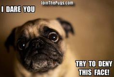 Cute Little Pug - Join the Pugs