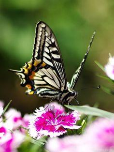 Asian Swallowtail /  Xuthus Swallowtail (Papilio xuthus)