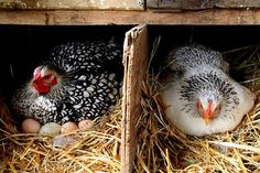 Hens on nest by Gmomma Urban Chickens, Chickens And Roosters, Pet Chickens, Raising Chickens, Chickens Backyard, Country Farm, Country Life, Country Living, Country Girls